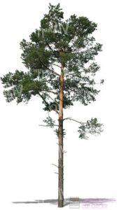 como dibujar un pino paso a paso