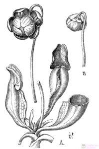 dibujos para colorear de plantas carnivoras