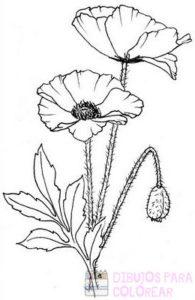 flor de amapola imagenes