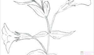planta de amapola imagenes